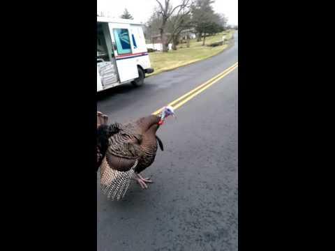 Mailman chased  a turkey!
