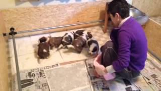 St. Bernard puppy Pee training