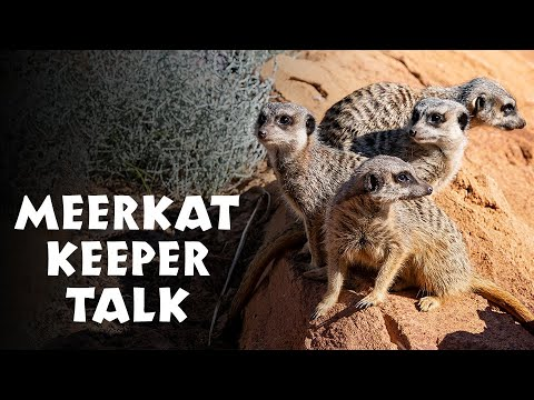 **NEW** African Savannah Meerkat Keeper Talk At Taronga Zoo Sydney