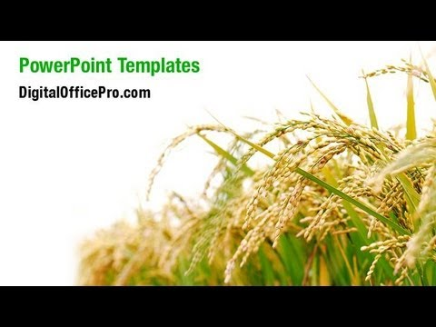 Rice plant powerpoint template backgrounds digitalofficepro rice plant powerpoint template backgrounds digitalofficepro 05325w toneelgroepblik Choice Image