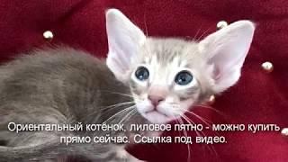 Здесь можно купить ориентального котенка