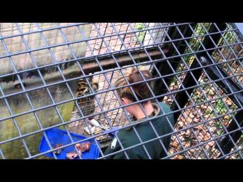 Toronto Zoo staff feeding two tigers