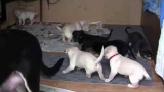 Working Kelpie Pups 4 Weeks Old