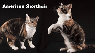 American Shorthair : 9 Things to know before buying an American Shorthair Cat