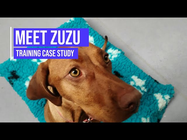 Obedience training for a Hungarian Vizsla