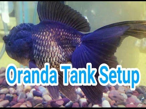 Oranda Goldfish Tank Setup And Maintenance