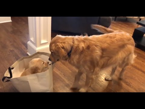 Golden Retriever meets his new puppy sister