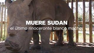 Ha Muerto Sudan, El último Rinoceronte Blanco Macho | Nature