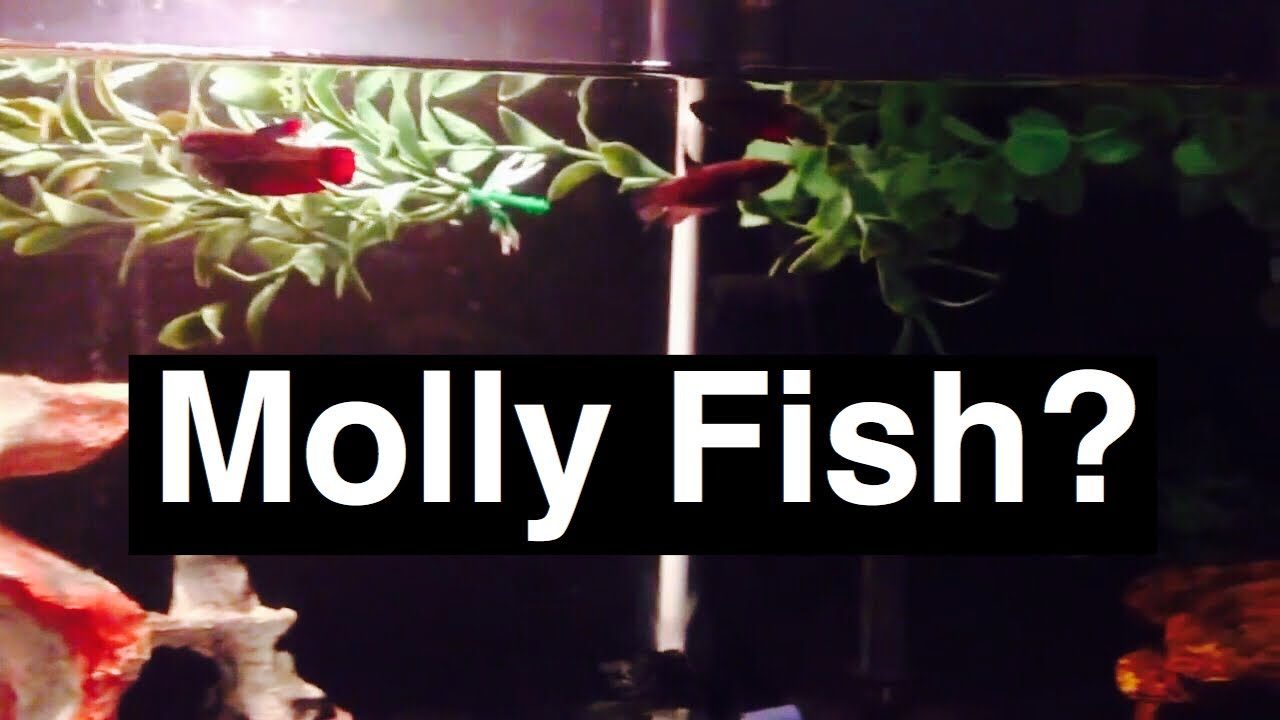 Betta fish tank mates molly fish experiment youtube for What fish are compatible with betta fish