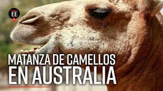 ¿Por qué van a sacrificar a 10.000 camellos en Australia? - El Espectador