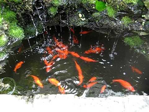 Backyard Aquaponics Waterfall Pond With Goldfish