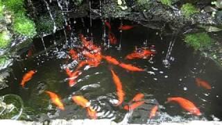 backyard aquaponics waterfall / pond with goldfish - feeding time