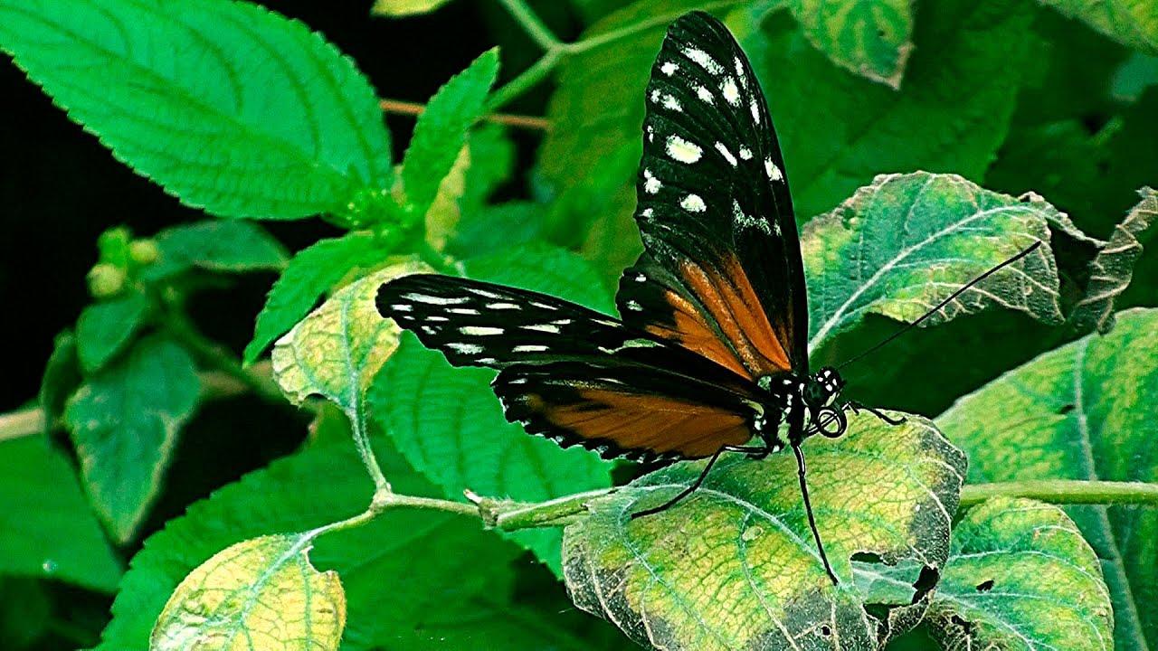 Schmetterling Englisch