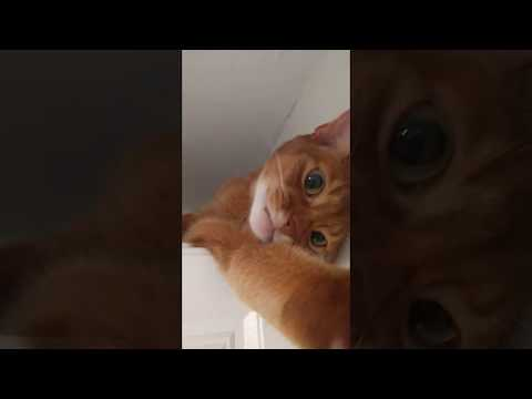 Abyssinian cat Johnny plays with a camera