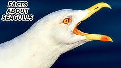 Seagull | Animal Fact Files