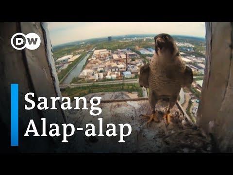 Burung Alap-alap Bersarang Di Kawasan Industri