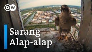 Download lagu Burung Alap-alap Bersarang di Kawasan Industri