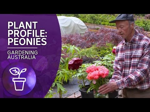 Plant Profile: Peonies
