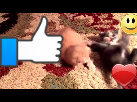 The cutest kittens EVER in a wrestling match! (kid friendly)