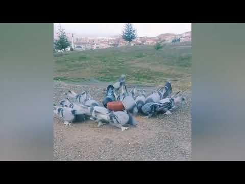 Takla Atan Güvercinler  ( Derleme Part 3 ) Sökük Güvercinler