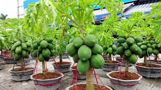 Wow!!! Strange Papaya Bonsai Trees in Pots Make You Millionaire - Amazing Agriculture Technology