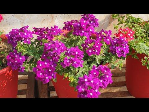 Verbena Care Tips || How To Grow And Care Verbena || Fun Gardening
