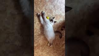 Котёнок Д´Артаньян, порода невская маскарадная, 4 месяца