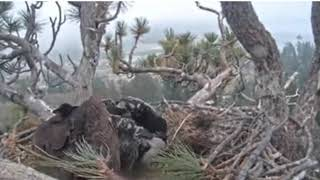 Big Bear Eagle Cam-.AMAZING MOM. PROTECTS COOKIE. SIMBA IN HIGH WINDS ! . 52119!
