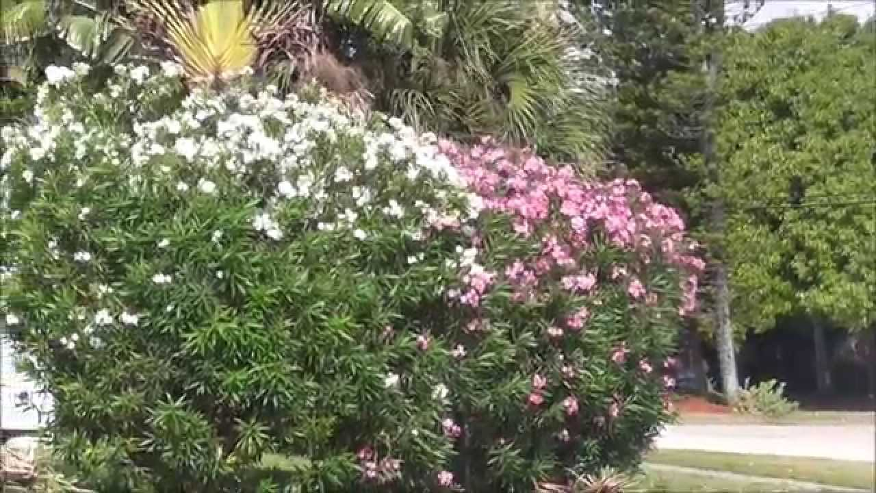 White pink and red oleander comparison which one should you white pink and red oleander comparison which one should you choose mightylinksfo