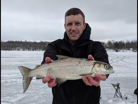Minnesota Master Angler Tullibee Fishing