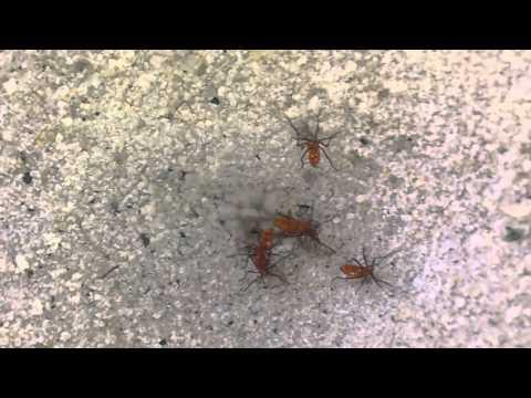 Antlion vs Multiple bugs