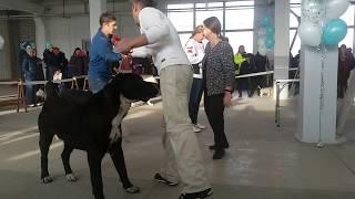 Бугай Алабай. Выставка собак в Благовещенске 1 декабря 2018. Судит Островская М Г