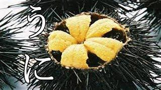 黄色い花!?剥きたてのウニが極上すぎる。【うにのさばき方】 thumbnail