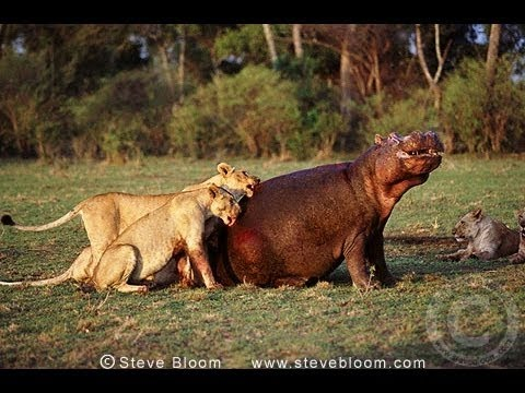 lion attack hippo and die incredible animal attack wild animals