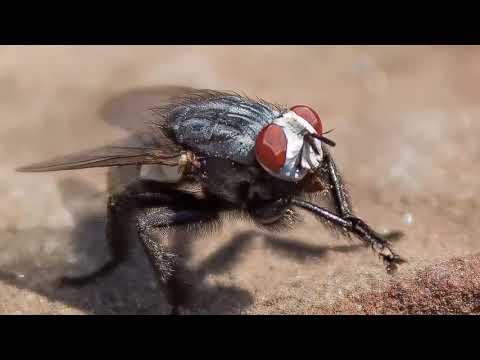 Вопрос: Почему мухи постоянно потирают лапки?