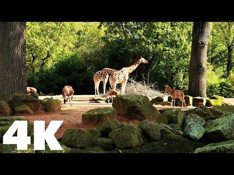 Erlebnis-Zoo Hannover, Deutschland, Niedersachsen | 4K