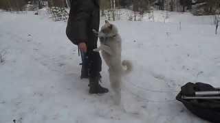 Ездовая лайка!!!!!)))))))))