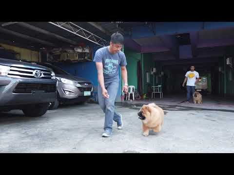 TRAINING: Chow Chow Puppies