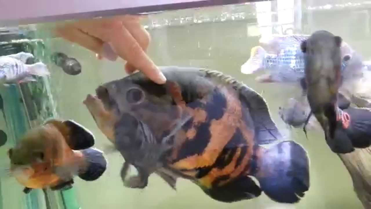 How Big Does A Red Oscar Get moreover KmmGAlzfvv4 besides Fichier discus fish in addition  additionally Conheca O Budiao Azul O Peixe Que Vive Sorrindo. on oscar cichlid babies