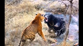 Схватка медведя с тигром, видео \ Нападения животных, нападение на человека(Схватка медведя с тигром, видео \ Нападения животных, нападение на человека., 2016-03-29T09:12:44.000Z)