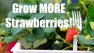 Strawberry Crate Tower Tips for MORE Strawberries!  In 4K