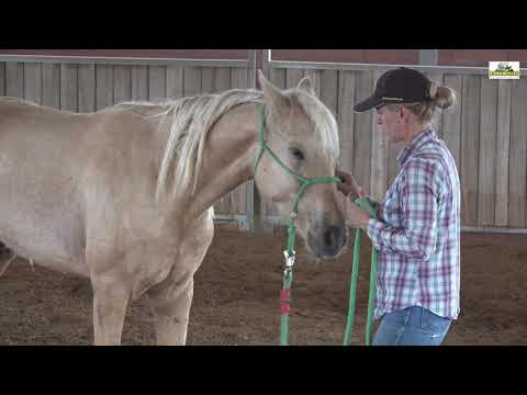 Missouri Foxtrotter Gelding 3 years old