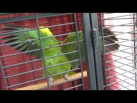 Parrot Taking a Bath. Yellow Naped Amazon Parrot Enjoys a Spray Bath