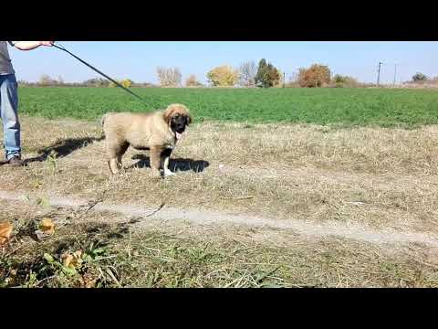 Marko the Caucasian Mountain Dog for sale by Euro Puppy