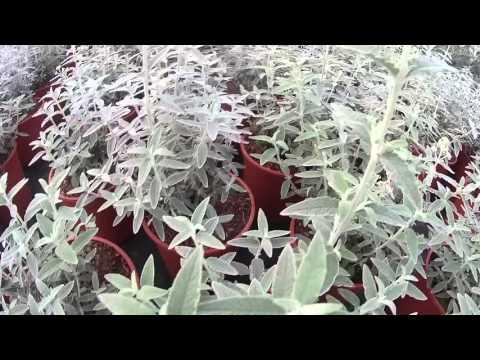 Big Plant Nursery - Buddleja Silver Anniversary