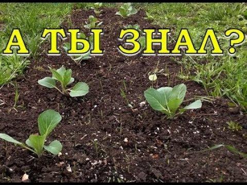 Как посадить капусту в открытый грунт рассадой