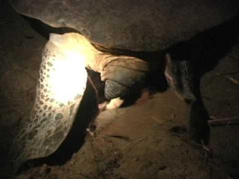 Nesting Green Sea Turtle