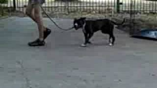 Frisco Dog Training | Flannel - Pit Bull Day 1 | Redeeming Dogs - Tod Mcvicker, Dog Trainer