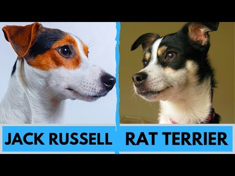 Jack Russell Terrier Vs Rat Terrier Difference
