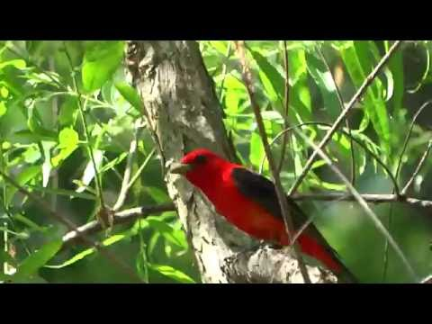 Scarlet Tanager / Song
